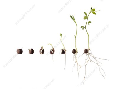 Seed germination sequence