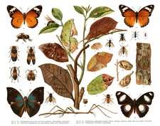 Insect mimicry, illustration