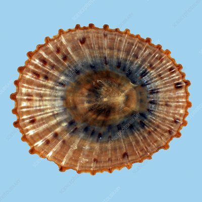 Cellana mazatlandica limpet shell