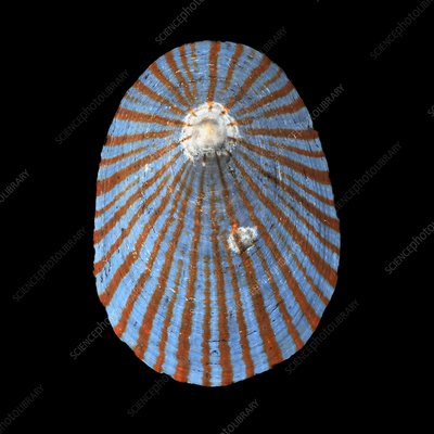 Cellana nigrolineata limpet shell