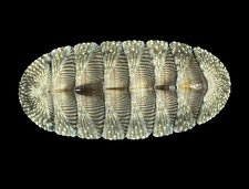 West Indian Green Chiton shell