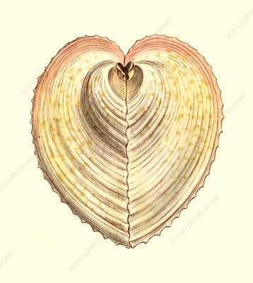 Heart cockle shell, illustration