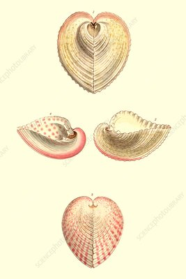 Heart cockle shells, illustration
