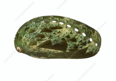 Ass's-ear abalone shell