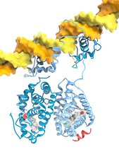RXR and LXR nuclear receptors and DNA