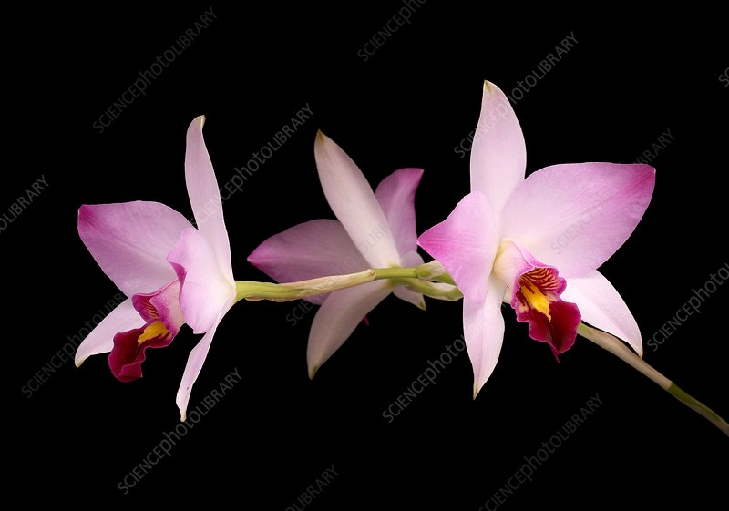 Laelia anceps orchid flowers
