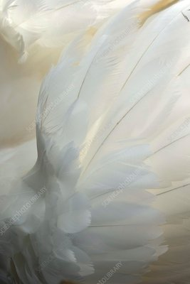 Mute swan feathers