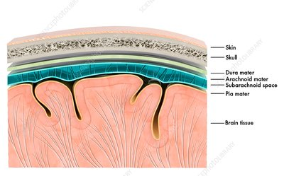 Brain meninges, illustration