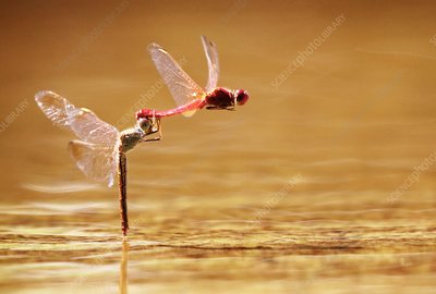 Scarlet percher dragonflies mating