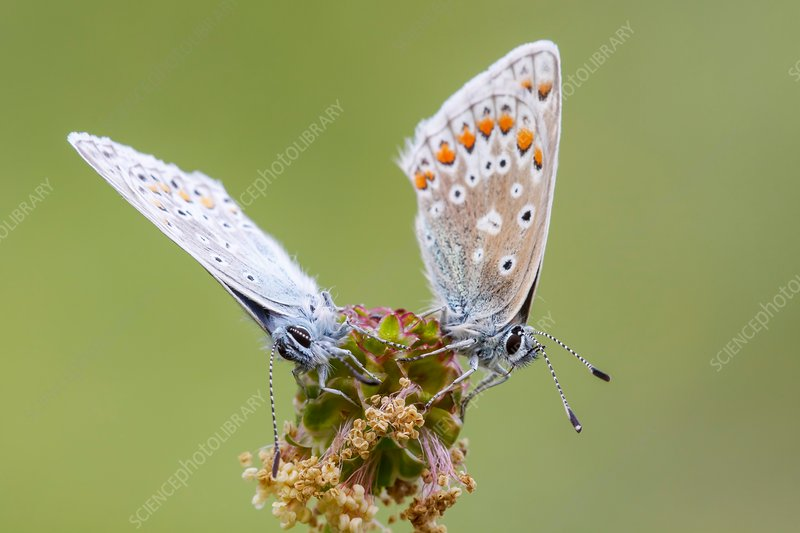 Common blue butterflies on burnet flower