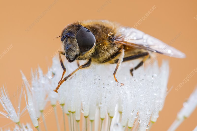 Hoverfly on dandelion clock