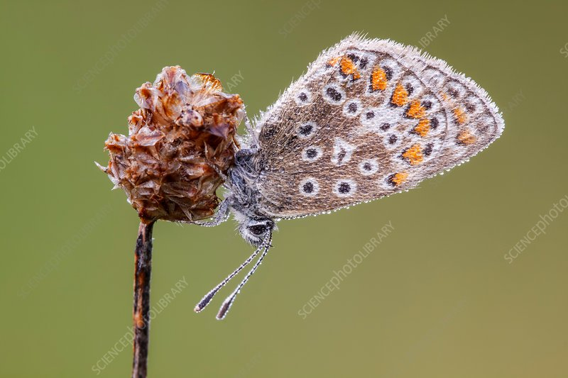 Common blue butterfly on plantain flower