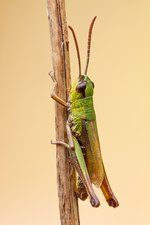 Meadow grasshopper