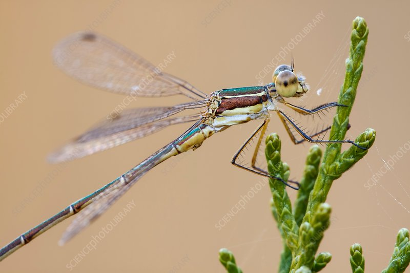 Small spreadwing damselfly
