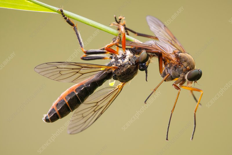 Robber fly preying on snipe fly