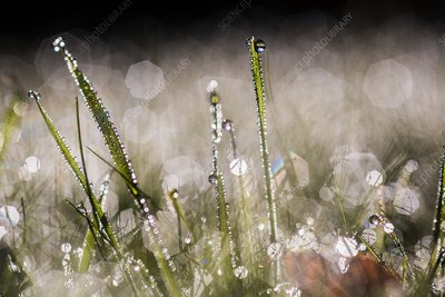 Dew-covered grass