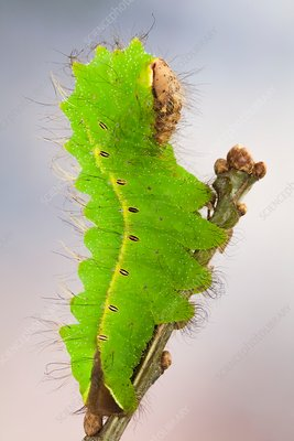 Chinese oak tussar moth caterpillar