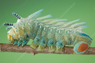 Edward's atlas moth caterpillar