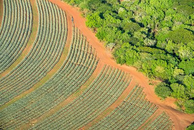 Aerial view of pineapple plantations