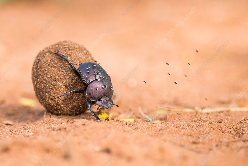 Dung beetle rolling its dung ball