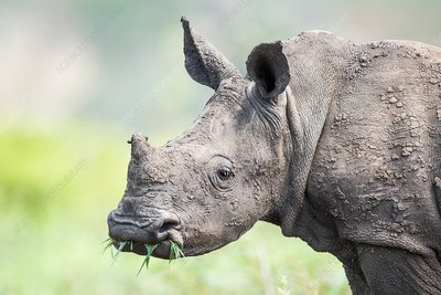 White rhino calf with grass in its mouth
