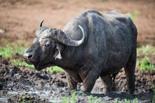 Cape buffalo wallowing in thick mud