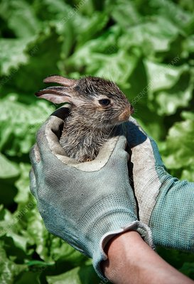 Rabbit in lettuce patch
