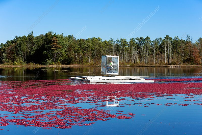Cranberry harvest, USA