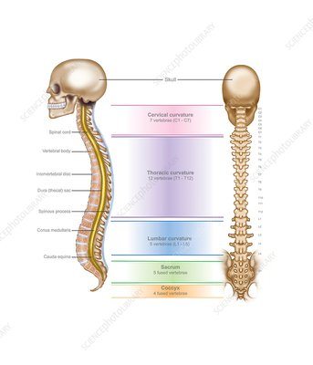 Spinal anatomy, illustration