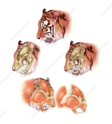 Tiger head anatomy, illustration