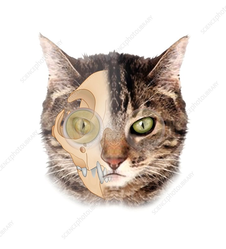 Cat head anatomy, illustration - Stock Image C029/9564 - Science ...