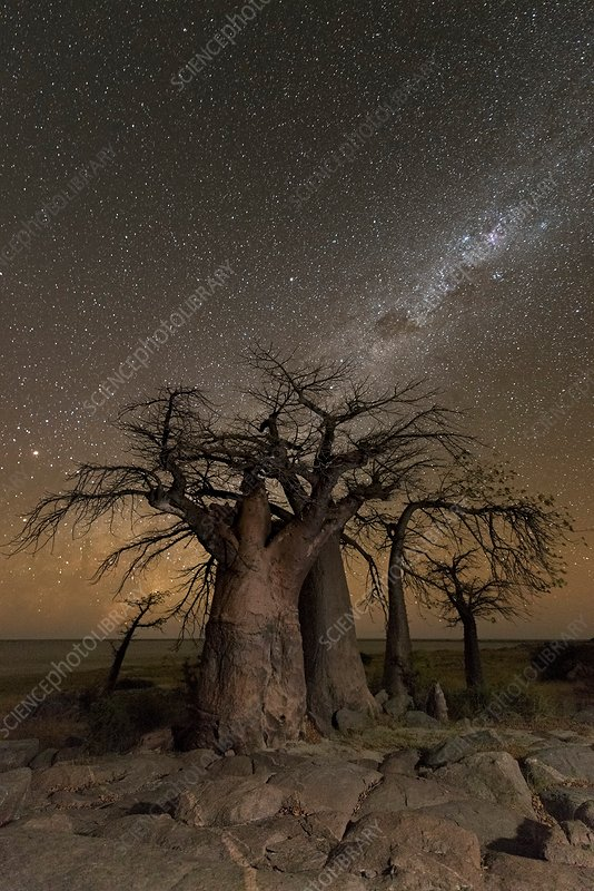 Milky way over Baobab trees