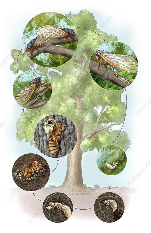 Periodical cicada life cycle, illustration