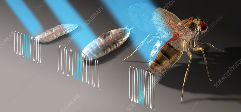 Flies and heart pacemaker research