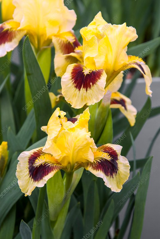 Iris 'Pogo'