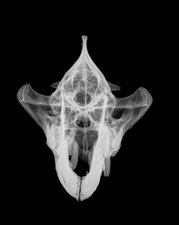 X-ray of a skull of a Hyena