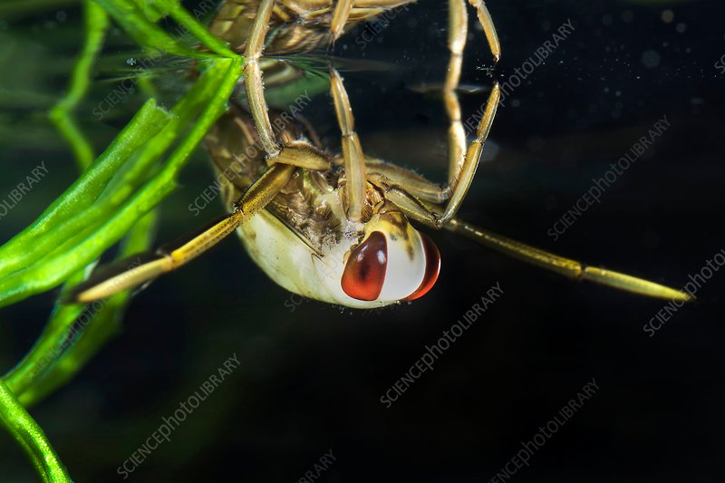 Backswimmer nymph