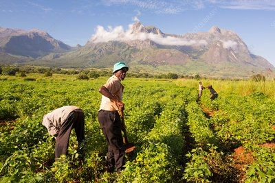 Malawian workers in soya field