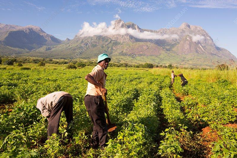 Malawian workers in soya field