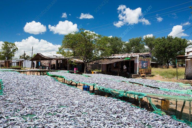 Fish caught in Lake Malawi, drying racks