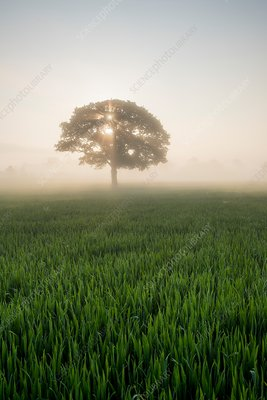 Tree and wheat field in morning mist