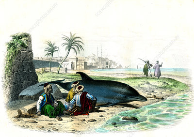 Beached dolphin, 19th century