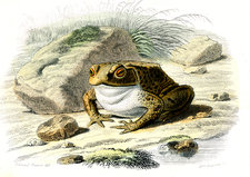 Common toad, 19th century