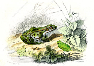 Green frog and tree frog, 19th century