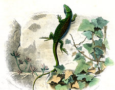 Ocellated lizard, 19th century