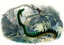 Emerald tree boa, 19th century