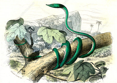 Green vine snake, 19th century