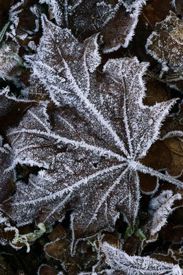 Frost-covered maple leaf