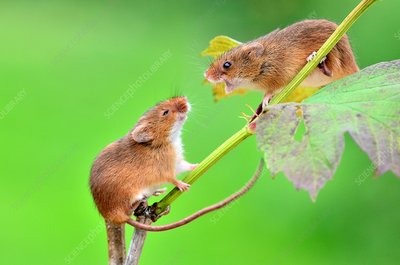 Harvest mice on guelder rose