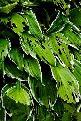 Slug-damaged hosta plant